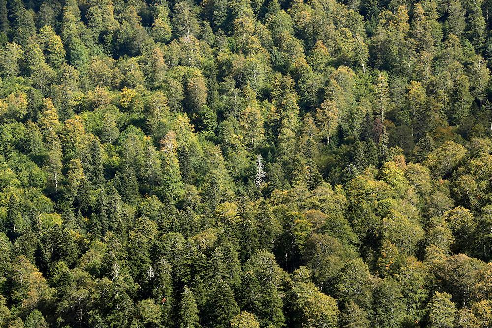 Dense tress canopy of the forest, Zelengora mountain, Sutjeska National Park, Bosnia and Herzegovina.
