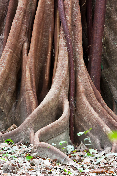 Buttress Root and trunk detail of a Ceiba Tree (Ceiba pentandra) in Corcovado National Park, Costa Rica