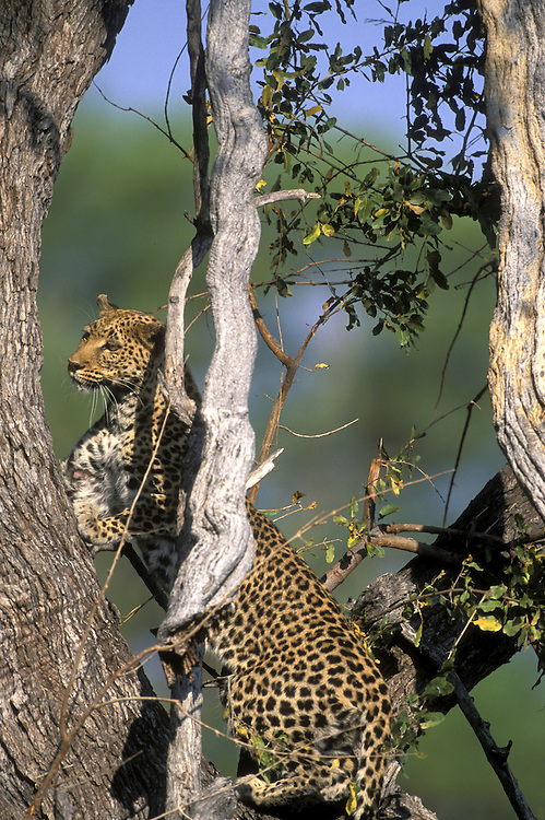 Botswana, Moremi Game Reserve, Adult Female Leopard (Panthera pardus) climbs tree near Khwai River at sunset