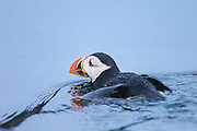 Puffin in the sea | Lundefugl i sjøen