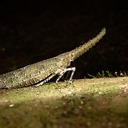 Lanternfly (Zanna nobilis), in Kaeng Krachan National Park, Thailand,