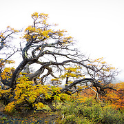 Windblown tree in color, Torres del Paine National Park - 18 x 12