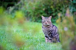 Feral male tabby cat in a suburban garden, England, United Kingdom.
