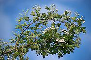 Crataegus monogyna (common hawthorn), RBG Kew.