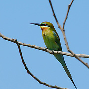 Blue-tailed bee-eater, Merops philippinnus
