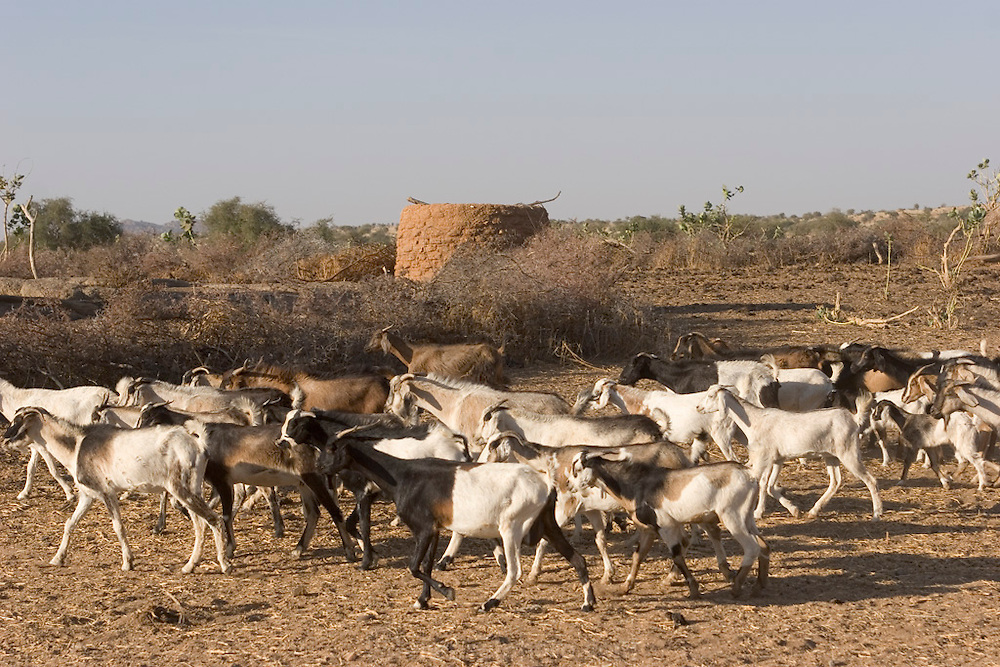 Some of the Mustapha family's goats in Dar es Salaam village, Chad, begin their daily journey to first get water from the wadi, then start their search for something green to eat. Wadis in the central part of Chad are dry nine months of the year. During that time, villagers must dig down to the water, shoring up the wells with millet stalks to keep them from collapsing. (Supporting image from the project Hungry Planet: What the World Eats.)