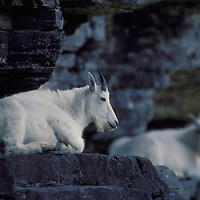 Mountain goats on cliif ledge. Glacier National Park, Montana.