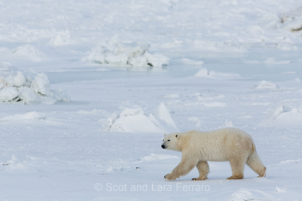 A polar bear (Ursus maritimus) tests the newly formed ice on Hudson Bay.  The areas of ice upheval are caused by rocks underneath breaking the ice when the tide goes out.