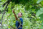 Turtle Creek Vineyard manager Matt Bombassaro prunes the grape vines in the vineyard; August 6, 2014. (Wicked Local Staff Photo/ Sam Goresh)