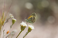 Nathalis iole (Dainty Sulpher) at Bob's Gap, Los Angeles Co, CA, USA, on Fremont's pincushion 18-Apr-15