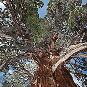 This Juniper Tree is located in a place only the Hope Valley Locals know about. It is easily the largest and oldest Juniper tree in the Valley if not around Lake Tahoe.