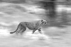 A black and white motion-blur of a cheetah walking (Acinonyx jubatus),  Ndutu, Ngorongoro Conservation Area, Tanzania, Africa