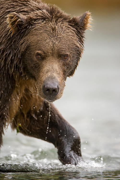 USA, Alaska, Katmai National Park, Kinak Bay, Brown Bear (Ursus arctos) hunting in river for spawning salmon on autumn evening