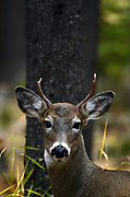 A young white-tailed buck in a lodgepole pine forest in fall. Yaak Valley in the Purcell Mountains, northwest Montana.