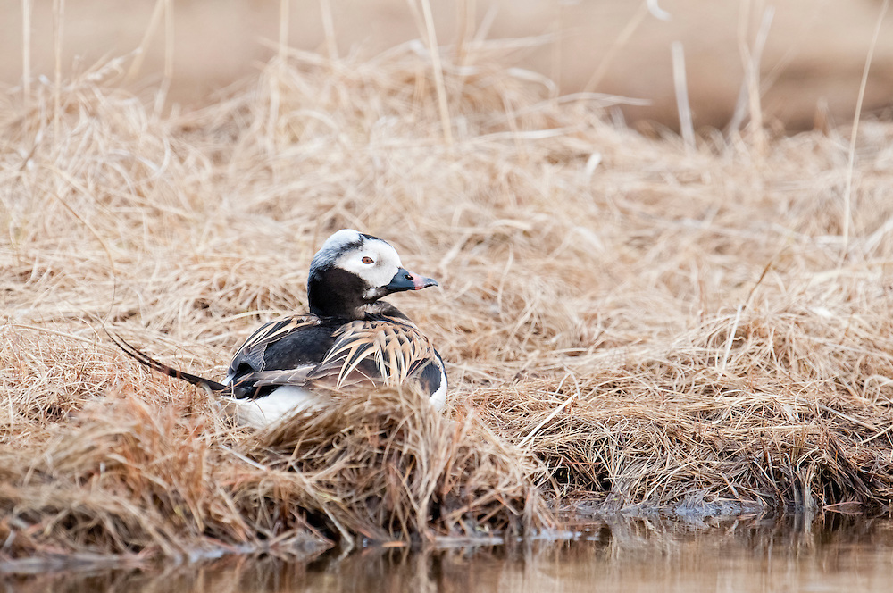 Long-tailed Duck, Clangula hyemalis, male, Yukon Delta NWR, Alaska