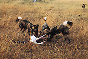 wild dogs kill and eat gazelle in Masai Mara, Kenya