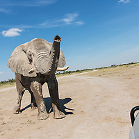 Africa, Botswana, Nxai Pan National Park, Bull  Elephant (Loxodonta africana) raises trunk while approaching safari truck near water hole in Kalahari Desert