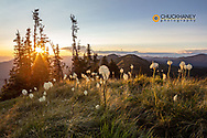 Backlit beargrass on Werner Peak, Stillwater State Forest, Montana, USA