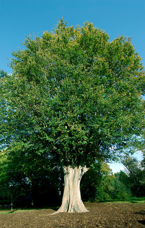 Caucasian Elm Zelkova carpinifolia 31m. Has a dense, multi-stemmed crown composed of numerous almost upright branches. Bole, to 3m, is heavily ridged. BARK Greyish and flaking; falls away in rounded scales exposing orange patches. BRANCHES Youngest twigs are greenish with whitish down. LEAVES To 10cm long, oval and pointed with rounded teeth and 6–12 pairs of veins. Upper surface is dark green and slightly hairy, lower surface is slightly paler with hairs on either side of veins. Petiole is very short, to 2mm long. REPRODUCTIVE PARTS Male flowers, pro¬¬duced in April, are sessile clusters of yellow-green stamens arising from older, leafless part of twig. Female flowers are solitary and in axils of last few leaves on shoot. Fruits are spherical, to 5mm across and slightly 4-winged. STATUS AND DISTRIBUTION Native of the Caucasus, grown here for ornament.