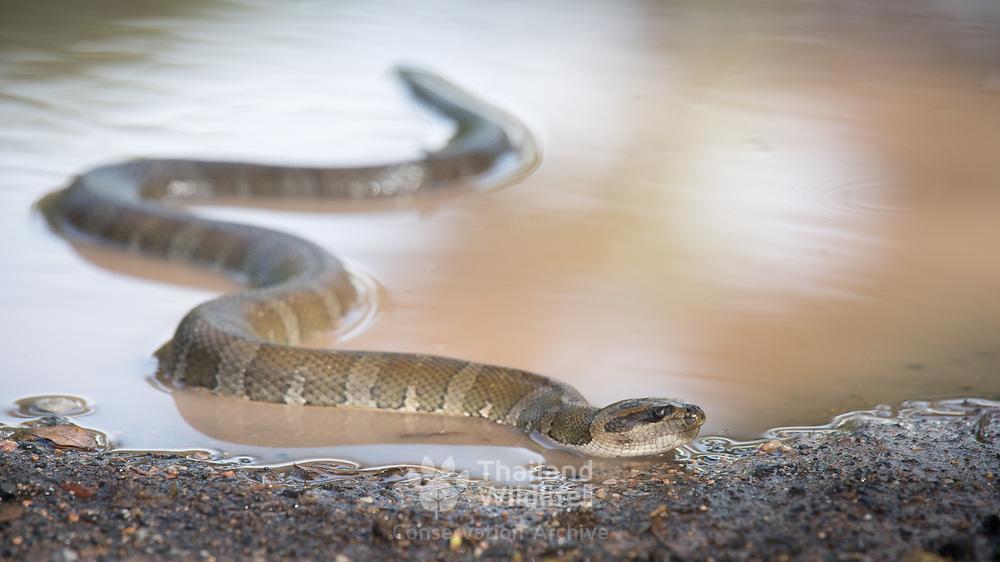 Jack's Water Snake (Homalopsis mereljcoxi) in Sung Noen, Nakhon Ratchasima, Thailand