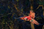 A red-and-green macaw (Ara chloroptera) in the Bonito area, Mato Grosso do Sul, Brazil