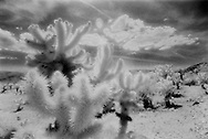 Joshua Tree National Monument.  Cholla cactus shot with infra red film in the cholla gardens of Queen's Valley.