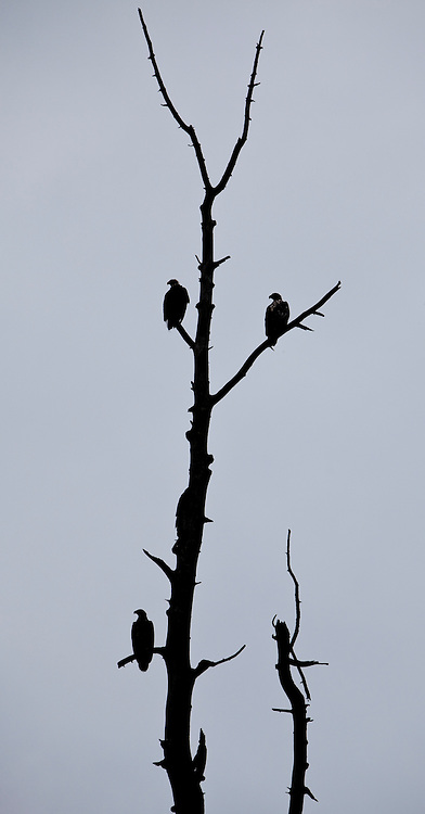 Alaska2010.-Bald Eagles perched in a tree outside Homer AK.