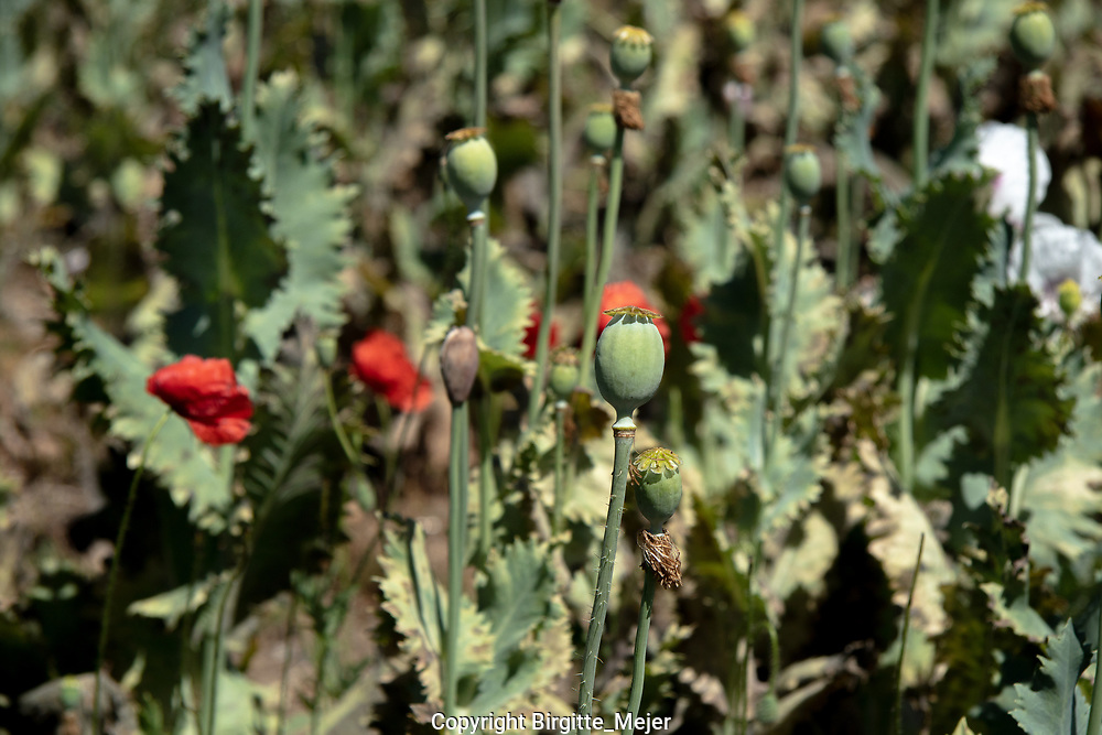 Up close photography of the capsule of a Opiom poppy flower, with blurred out capsules and flowers in the background.<br /> (Papaver somniferum) the opium poppy is a species of flowering plant in the family Papaveraceae It is the species of plant from which opium and poppy seeds are derived and is a valuable ornamental plant
