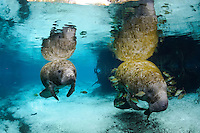 Florida manatee, Trichechus manatus latirostris, a subspecies of the West Indian manatee, endangered. Series of mother and calf in the springs surrounded by fish, bream, Lepomis spp. The calf is curious while mom rests. The manatees tolerate the fish attention as it is the price to pay for sharing the warm waters. Bream target dermis and dead skin on the manatees. Horizontal orientation with blue spring water and reflections. Three Sisters Springs, Crystal River National Wildlife Refuge, Kings Bay, Crystal River, Citrus County, Florida USA.
