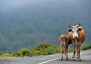 14/06/15 - REGION DE CORTE - HAUTE CORSE - FRANCE - Vache et veau de race Corse dans le maquis - Photo Jerome CHABANNE