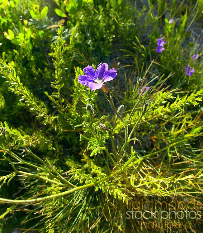 Dampiera sp, Native Australian Flower