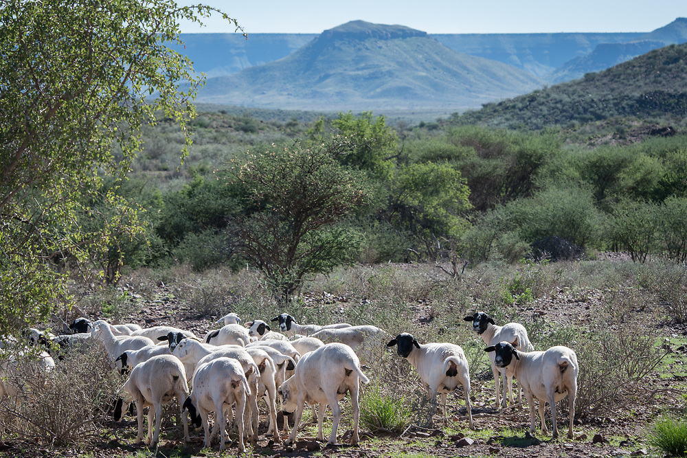 A herd of sheep are grazing in the grasslands of Dabis Guest Farm, located in Helmeringhausen, southern Namibia, Africa.