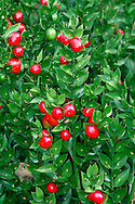 BUTCHER'S-BROOM Ruscus aculeatus (Liliaceae) Height to 1m. Branched, evergreen perennial of shady woods, often on calcareous soils. FLOWERS are tiny and solitary; borne on upper surface of leaf-like structures (Jan-Apr). FRUITS are red berries. LEAVES are minute; oval, spine-tipped leaf-like structures are flattened branches. STATUS-Locally common native in S; naturalised elsewhere.