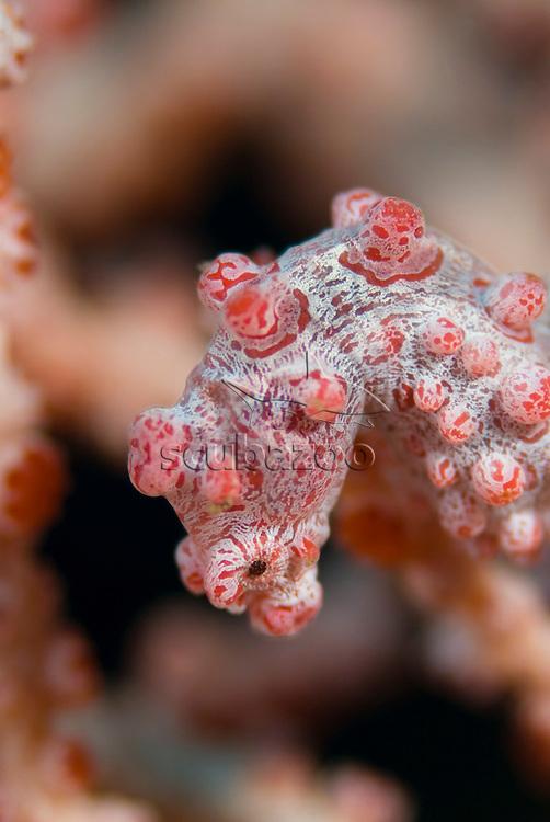 Pygmy Seahorse, Hippocampus bargibanti, KBR, Lembeh Strait, Sulawesi, Indonesia.