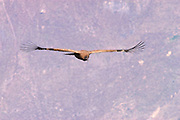 "Peru December 2002: A juvenile Andean Condor (Vultur gryphus) soars over the Colca Canyon in Southern Peru. The Andean Condor has a ICUN conservation status of ""near threatened""."
