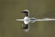 Black-throated diver (Gavia arctica) adult on loch, Scotland, UK
