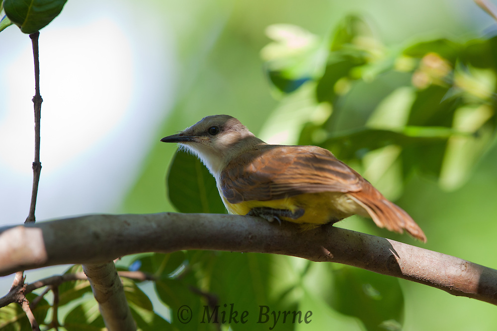 Cattle Tyrant (Machetornis rixosa) perched in a tree at Araras Eco Lodge (Pantanal, Mato Grosso, Brazil)
