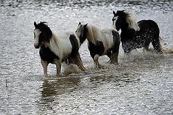 © London News Pictures. 29/04/2012. Stapleford Abbotts, UK. Horses wade through flood water on farm land near Stapleford Abbotts in Essex, UK on April 29, 2012 following heavy rainfall. Photo credit : Ben Cawthra /LNP
