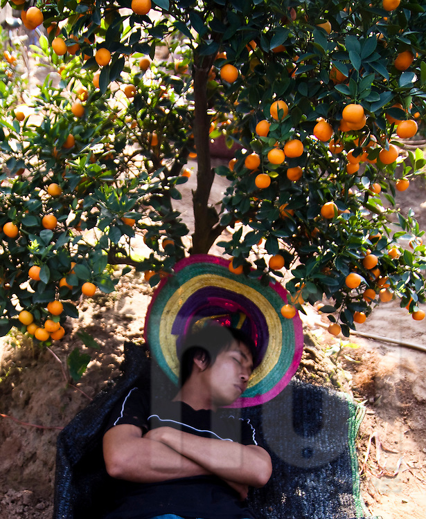 Young teenager sleeps in a kumquat orchard by the Red River, Hanoi, Vietnam, Southeast Asia