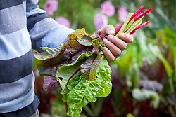 Man holding freshly picked chard. Beta vulgaris