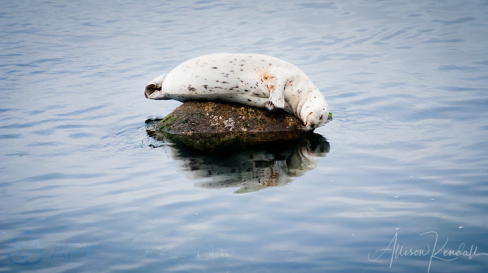 A harbor seal contentedly naps on a rock in Monterey harbor