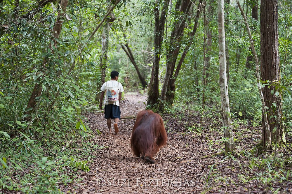 Bornean Orangutan <br /> Pongo pygmaeus<br /> Young male following park ranger on trail<br /> Tanjung Puting National Park, Indonesia