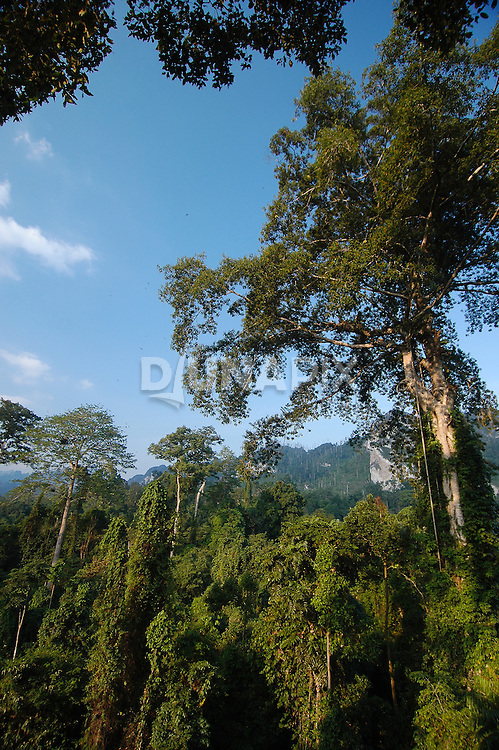 A view of a fruiting strangler fig and a karst escarpment from a rainforest canopy platform east of Lake Tebo, Sangkulirang.