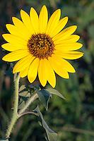 Sunflower (Helianthus annuus), Bastrop County, Texas