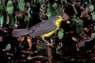 Canada Warbler - Wilsonia canadensis - Adult female