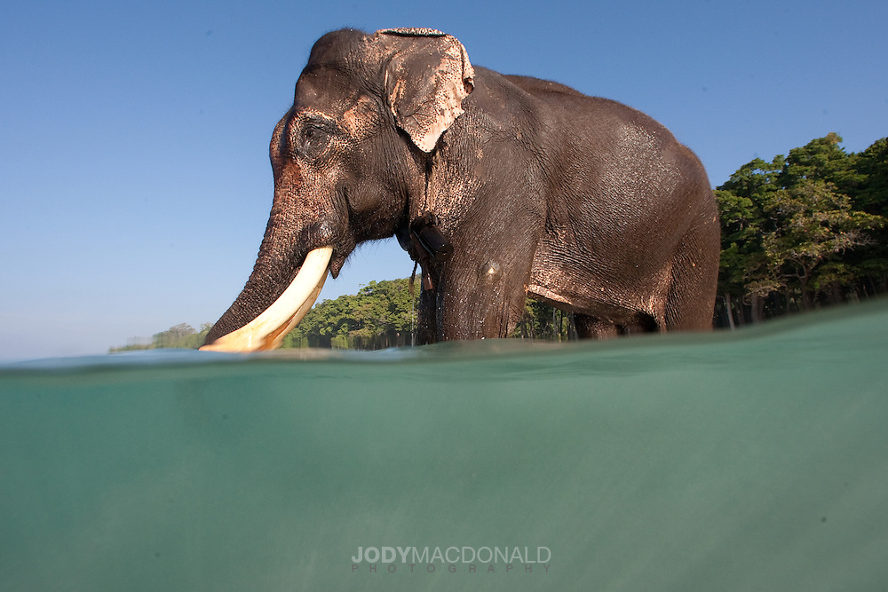 Rajan, once forced to swim in salt water, which elephants despise naturally, has grown to love his morning dips