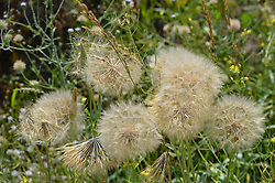 July 3, 2017 - Ankara, Turkey - Dandelion flowers are seen at a wild field during hot weather in summer in Ankara, Turkey on July 03, 2017. (Credit Image: © Altan Gocher/NurPhoto via ZUMA Press)