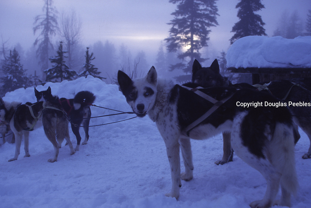 Sled dogs, Flathead Valley, Montana, USA<br />
