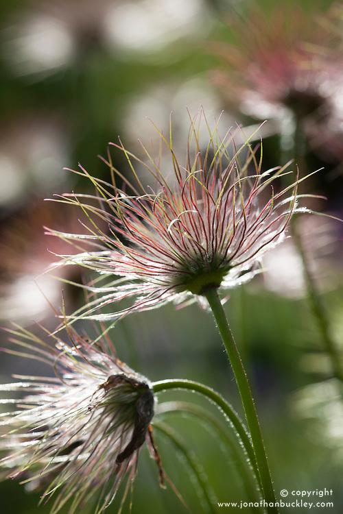 Fluffy seedhead of Pulsatilla vulgaris AGM. Pasqueflower