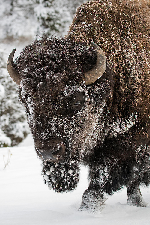 With their winter coat ten times as heavy as that of a domestic cow, the bison is well equipped to weather the cold of the high country. The thick outer layer of their wooly coat blocks the elements including wind, water, ice and snow, helping them survive in the coldest of temperatures.